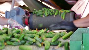 Domestic cucumber on the processing line stock footage