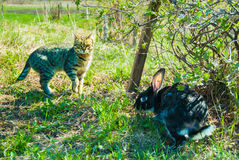 A domestic curiouse cat hunting a big black rabbit at a garden. Summer walk of domestic pets Stock Images