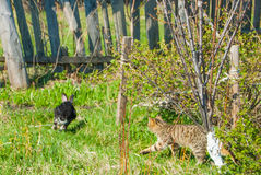 A domestic curiouse cat hunting a big black rabbit at a garden. Summer walk of domestic pets Stock Photos