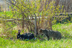 A domestic curiouse cat hunting a big black rabbit at a garden. Summer walk of domestic pets Royalty Free Stock Photo