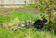 A domestic curiouse cat hunting a big black rabbit at a garden. Summer walk of domestic pets Royalty Free Stock Photos