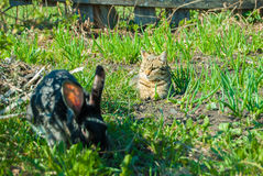 A domestic curiouse cat hunting a big black rabbit at a garden. Summer walk of domestic pets Royalty Free Stock Images