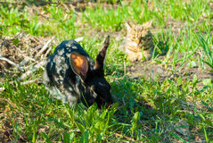 A domestic curiouse cat hunting a big black rabbit at a garden. Summer walk of domestic pets Stock Photo