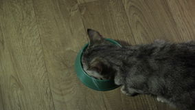 Domestic cute cat eats food stock video