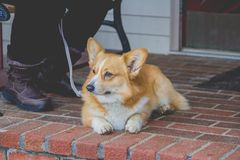 Domestic cute Dorgi type of dog laying next to its owner at the front of a house stock photo