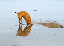 Domestic dog. This dog is digging the soil and try to catch some insect near the beach Stock Photo