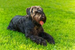 Domestic dog Black Giant Schnauzer breed. Cute Domestic dog Black Giant Schnauzer breed lying on green grass on a sunny day. Focus on the dog muzzle, shallow Royalty Free Stock Photos
