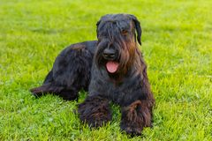 Domestic dog Black Giant Schnauzer breed Royalty Free Stock Image