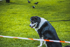 Domestic dog Royalty Free Stock Photo