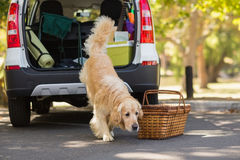 Domestic dog in car trunk. Domestic dog going out of the car trunk Royalty Free Stock Photography