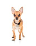 Domestic dog chihuahua isolated on white Royalty Free Stock Images