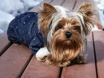 Domestic dog in clothes in the winter Royalty Free Stock Photo
