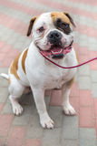 Domestic dog English Bulldog breed Royalty Free Stock Images