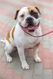 Domestic dog English Bulldog breed Royalty Free Stock Images