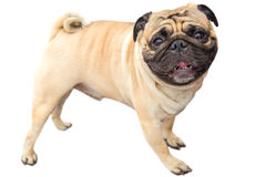 Domestic dog fawn Pug breed Stock Image