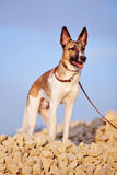Domestic dog on filling brick against the blue sky. Royalty Free Stock Photography