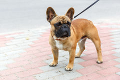 Domestic dog French Bulldog breed Royalty Free Stock Photo