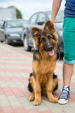 Domestic dog German Shepherd breed. On leash. Focus on the dog muzzle, shallow depth of field Royalty Free Stock Photos