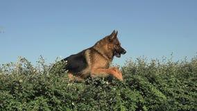 Domestic Dog, German Shepherd Dog, Male jumping above Edge, Normandy,