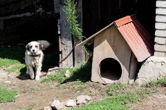 Domestic dog guarding home. Dog with chain in front of his wooden home. Black and white half breed dog at the village. House stock photography