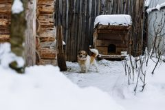 Domestic dog guarding home royalty free stock photography