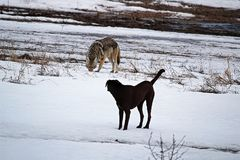 A domestic dog has it`s first run in with a wild coyote.  Royalty Free Stock Image
