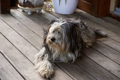 Domestic dog Royalty Free Stock Images