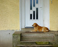 Domestic dog Stock Image