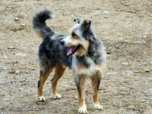 Domestic dog of mixed breeds in Swiss Alps. Canton of St. Gallen, Switzerland royalty free stock image