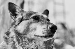 The domestic dog is a mongrel. Royalty Free Stock Photography