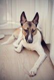 Domestic dog Royalty Free Stock Image