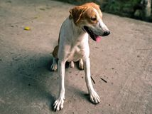 Domestic Dog in rural region. A domestic Dog in rural region of India stock image