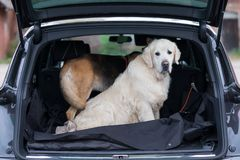 Domestic dog sitting in the car trunk. Preparing for a trip home after walking in park stock photography