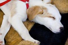 Domestic dog sleeping Stock Image
