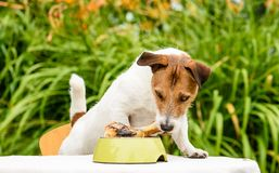 Domestic dog sniffing meat bone in canine bowl standing on table. Jack Russell Terrier with treat in plate Stock Photography