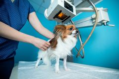 The domestic dog stands on the table under the X-ray machine. Vet clinic stock image