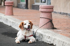 Domestic dog  tied to a street bollard waiting for the owner Stock Images