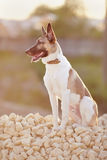 Domestic dog on walk sits on filling brick. Stock Images