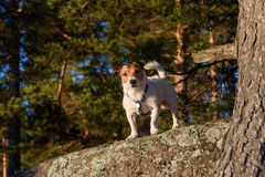 Domestic dog at wild nature off leash. Jack Russell Terrier walking at forest and standing on a rock Stock Image