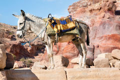 Domestic donkey. In front of mountain background Stock Photo