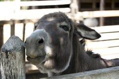 Domestic donkey Royalty Free Stock Photos