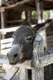 Domestic donkey Royalty Free Stock Image