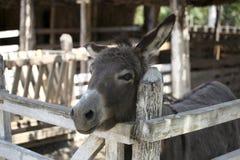 Domestic donkey Royalty Free Stock Photography