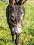 Domestic Donkey Royalty Free Stock Photo