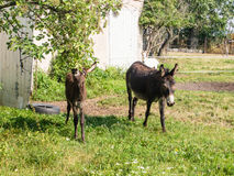 Domestic Donkey Royalty Free Stock Photography