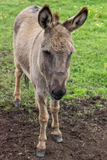 Domestic donkey at the farm Stock Photo