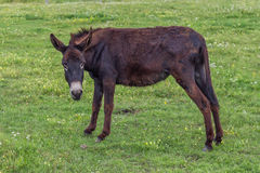 Domestic donkey in a field Stock Images