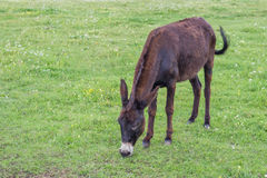 Domestic donkey in a field 2 Stock Photography