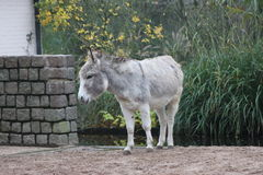 Domestic Donkey Royalty Free Stock Photos
