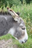 The domestic donkey from the side Royalty Free Stock Photos